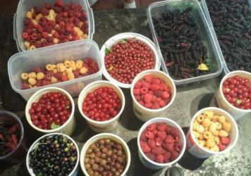 A morning's berry harvest from West Philadelphia's Ogden Orchard includes raspberries, gooseberries, currants, goumis and mulberries.