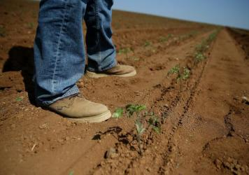 A row of newly planted organic tomatoes on April 23, 2015 in Firebaugh, Calif. Some farmers are moving tomato production to the north of the state where water supplies are better.