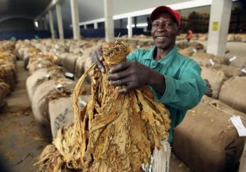 A worker at Boka Tobacco auction floors displays some of the tobacco crop, in Harare, Zimbabwe, Tuesday May 14, 2013. The country's tobacco selling season kicked off in February and to date tobacco worth over $400 million dollars has been sold to buyers mostly from China and the European Union.