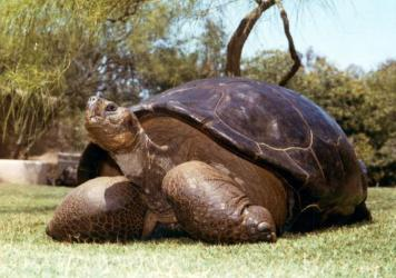 This undated photo from the San Diego Zoo shows Speed, a Galapagos tortoise that has been at the zoo since 1933. The zoo reported Friday that Speed had been euthanized at an estimated age of more than 150 years.