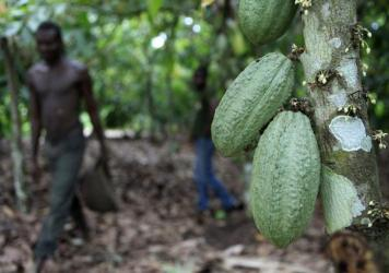 Farmer Issiaka Ouedraogo walks past cocoa pods growing on a tree, on a cocoa farm outside the village of Fangolo, near Duekoue, Ivory Coast in May 2011.