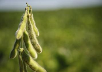 About 90 percent of America's soybeans are genetically modified.