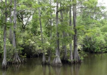 A cypress tree swamp in Byrnes Lake, part of the more than 200,000-acre Mobile delta. It's the most biologically diverse river delta system in the country.