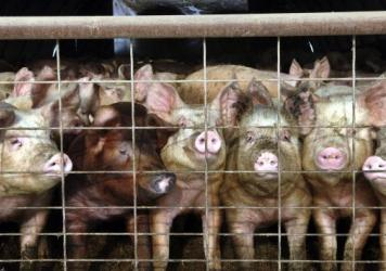"Young pigs stare out of a pen at a hog farm in North Dakota. In coming months, consumers will start to see a new label on some packages of pork: Produced ""without the use of ractopamine."""