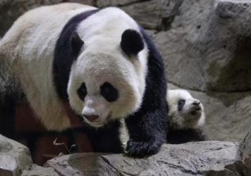 Giant panda Mei Xiang, together with her cub Bao Bao at the National Zoo in 2014. As of Saturday, Bao Bao now has another sibling: Her mother just gave birth to a cub.