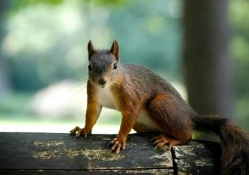 Squirrels closely mimic bird warning calls, and help spread the alarm throughout the forest that hawks, owls or other predators are nearby.