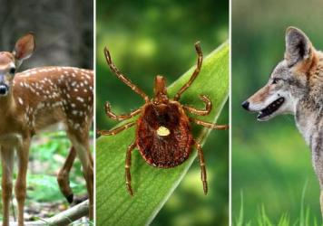 Scientists think the lone star tick (center) likely transmits Heartland disease to people. And the virus probably also circulates in deer and coyotes.
