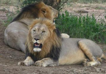 Lions in a game reserve in 2013 in South Africa, one of the few countries where the species is actually prevailing.