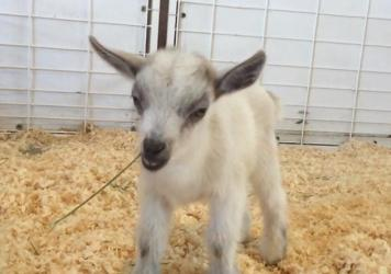GusGus, a tiny goat, is seen at the Arizona State Fair in Phoenix last month in this photo provided by Emilie Owen. Fair officials say the kid was taken Wednesday and returned Thursday.