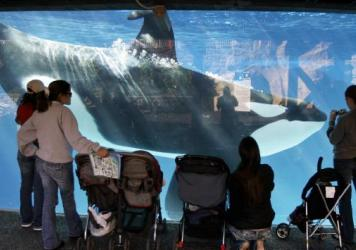 Visitors watch a killer whale swim in a tank at SeaWorld in San Diego in 2006. A SeaWorld executive says orca shows at the San Diego park will be replaced with a more natural presentation by 2017.