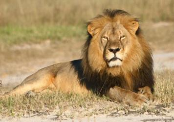 An undated photo of Cecil the lion in Zimbabwe's Hwange National Park.