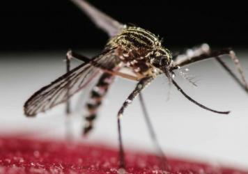 The mosquito <em>Aedes aegypti</em> is a spreader of Zika virus.