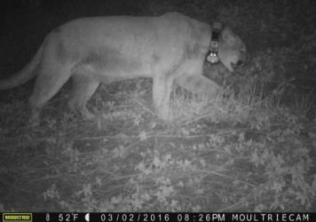 The mountain lion known as P-22 was captured on surveillance cameras in the LA Zoo the night before a koala was discovered dead.
