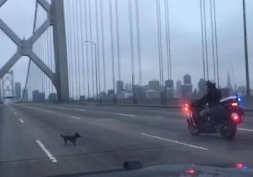 An image from a CHP video shows a Chihuahua leading officers on a chase across the Bay Bridge.