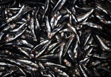 Some forage fish species are already in trouble. Pacific sardines are at their lowest numbers in decades.