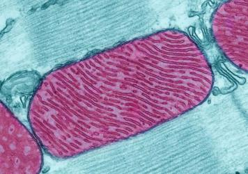 This is a light micrograph of the microbe that evolutionary biologists say lives just fine without any mitochondria.