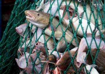 A fishing dragger hauls in a net full of Atlantic cod, yellowtail flounder and American lobster off the coast of New England. Greenpeace says Ray Hilborn, a prominent fisheries scientist known for challenging studies that show declines in fish populations, failed to fully disclose industry funding on some of his scientific papers.