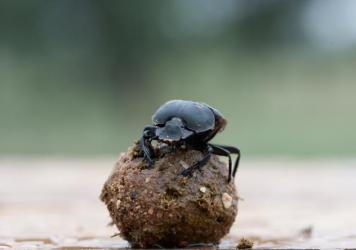 "Scientists at the University of Lund in Sweden have shown that dung beetles use mental ""snapshots"" of the Milky Way to navigate."