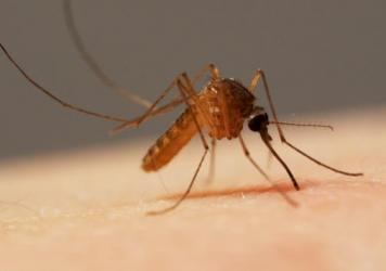 A common house mosquito (<em>Culex pipiens</em>) is about to sink her six-weaponed proboscis into a human arm. This type transmits West Nile virus by biting infected birds, then biting humans.