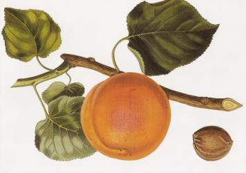 "The 'Turkey' apricot, a hand-coloured engraving after a drawing by Augusta Innes Withers (1792-1869), from the first volume of John Lindley's <em>Pomological Magazine</em> (1827-1828). The Romans dubbed the apricot the ""precious one."" Poets praised its beauty. The conquering Arabs took it to the Mideast, where the luxurious fruit was exploited in sugary confections."