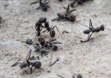 These ants are some of the stars of the award-winning film <em>Ant</em> by Rustam Orifi.