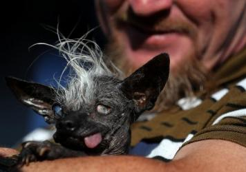 Jason Wurtz holds his dog SweePee Rambo after winning the 2016 World's Ugliest Dog contest at the Sonoma-Marin Fair on June 24 in Petaluma, Calif. Wurtz tells <em>The Guardian </em>there were no oozing sores on his prize-winning, unprepossessing pooch.