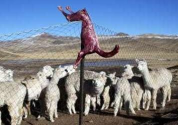 A skinned alpaca, which died due to subfreezing temperatures, hangs on a fence above live alpacas in Peru. Alpaca owners are butchering their dead animals to cook for their families. The Peruvian government has declared a state of emergency in the farmin
