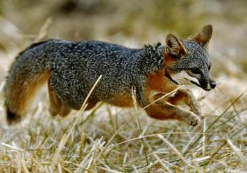 After being trapped, a female island fox, about 3-years-old, is examined before being released back into the wild on Santa Cruz Island