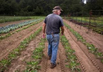 Bruce Hincks of Meadowood Farm walks through his patch of brussels sprouts in Yarmouth, Maine. Hincks, who has been farming for 40 years, said that this is the worst season, in terms of drought and heat, that he has seen in 10 or 12 years.