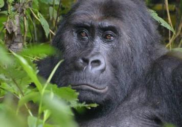 Kahuzi-Biega National Park is one of the last remaining strongholds of the Grauer's gorilla, the largest of the four gorilla subspecies.