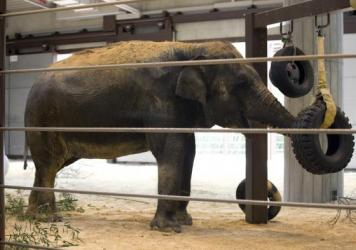 Shanthi, a 41-year-old Asian elephant, was recently fitted with Washington's largest pair of Teva boots for her front feet to combat arthritis.
