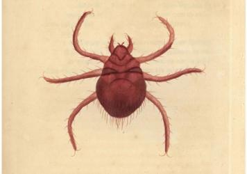 A hand-colored copperplate engraving from 1790, depicting a chigger.