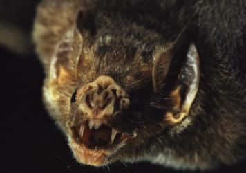 A vampire bat's fangs are so sharp that victims hardly notice when the animal slices through their skin and starts drinking blood.