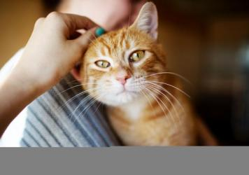 Fleas carry the bacteria that cause cat-scratch fever, so if your kitty is flea-free, you should be in the clear.