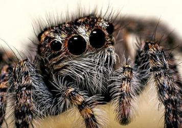 "Scientists found that <em>Phidippus audax</em> can also ""respond to airborne acoustic cues."""