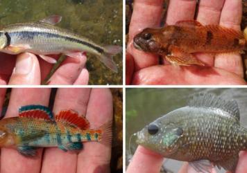 Microfish caught by Ben Cantrell. (Top row) Bleeding Shiner, Knobfin Sculpin. (Bottom row) Plateau Darter and Bantam Sunfish.
