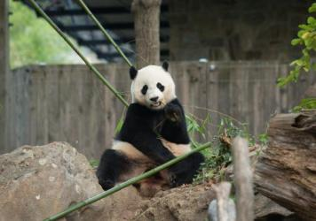 Bao Bao turned 3 this summer. The loan arrangement with China calls for giant pandas born in the U.S. to be sent to China before their fourth birthday. There are about 1,800 giant pandas in the wild, the National Zoo says, and Chinese scientists are work