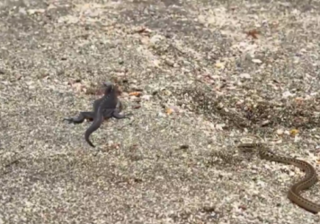 BBC Planet Earth II has footage of snakes hunting an iguana.