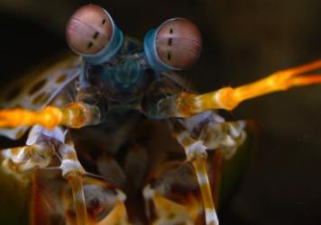 "The mantis shrimp has ""hexnocular vision"" (as opposed to our binocular vision), thanks to its three ""pseudopupils"" in each eye."