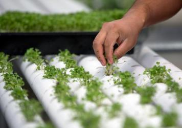 "Baby basil is planted in PVC piping through which nutrient-infused water flows at regular intervals at a hydroponics farm in Nevada. This week, the National Organic Standards Board is set to vote on whether foods grown hydroponically can be sold as ""cert"