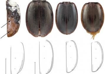 A new species of ground beetle found in Antarctica (left) is named <em>Antarctotrechus balli</em>. The three other beetles are close modern relatives of the ancient species. The line drawings show similarities between the beetles.