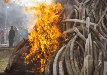 Fifteen tons of elephant tusks are set on fire during an anti-poaching ceremony at Nairobi National Park in Nairobi, Kenya in March 2015. Conservationists say a pledge by China to stop the ivory trade is a possible game-changer in the struggle to curb the slaughter of elephants.(AP Photo/Khalil Senosi-File)