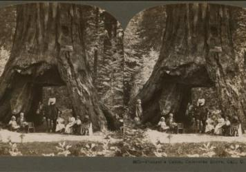 An 1899 stereograph shows the Pioneer Cabin sequoia in Calaveras Grove, Calif.