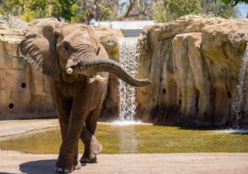 Musi, an African elephant, is one of Fresno Chaffee Zoo's five elephants enrolled in the Elephant Welfare Initiative.