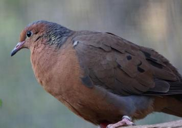 A Socorro dove perches at the Africam Safari Zoo in Puebla, Mexico. Scientists are planning to bring the dove species back to Socorro Island, the dove's ancestral home.