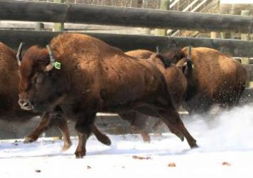 Wild bison destined for Banff National Park are prepared for loading and travel at Elk Island National Park's bison-handling facility in Alberta, Canada, on Jan. 31.