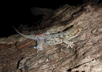 This <em>Geckolepis megalepis</em> has lost some of its scales, but can grow them back within two to three weeks.