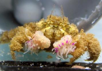 The 1.2 hour splitting process, beginning with a crab holding an anemone in one claw. The crab proceeds to stretch and split the anemone into two, ending with one on each claw.