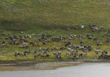 On one Alaskan island, reindeer have eaten the lichen faster than it could regrow. They're now digging up roots and grazing on grass.