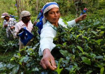 Tamil and Sinhalese workers pick tea on Amba Estate in the early morning.